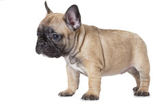 One month old French bulldog puppy Royalty Free Stock Photo