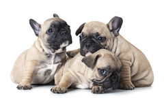 One month old French bulldogs puppy Stock Photos