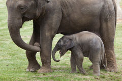 One-month-old Indian elephant (Elephas maximus indicus) with its Stock Photography