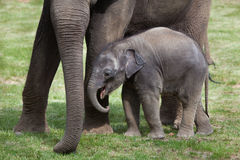 One-month-old Indian elephant (Elephas maximus indicus) with its Stock Photo