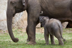 One-month-old Indian elephant (Elephas maximus indicus) with its Stock Image