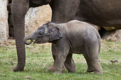 One-month-old Indian elephant (Elephas maximus indicus) with its mother Royalty Free Stock Photo
