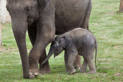 One-month-old Indian elephant (Elephas maximus indicus) with its Royalty Free Stock Images
