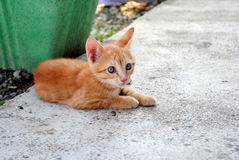 One month old orange kitten Stock Photography
