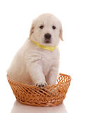 One month old puppie of golden retriever Royalty Free Stock Photos