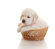 One month old puppie of golden retriever Royalty Free Stock Photography