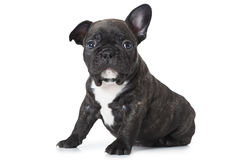 One month old puppy of French bulldog breed Royalty Free Stock Photo