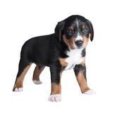 One month old puppy sennenhund tricolor Royalty Free Stock Image