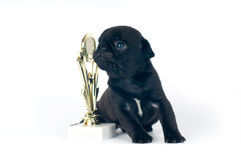 One month pug puppy Royalty Free Stock Photos