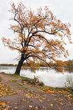 One more autumn-2. An old oak in the Krestovsky Island Royalty Free Stock Image