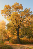 One more autumn. Old oak in Krestovsky park in Saint-Petersburg Stock Photos