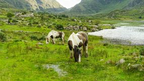 Grazing horses in the middle of Gap of Dunloe, Ireland stock image