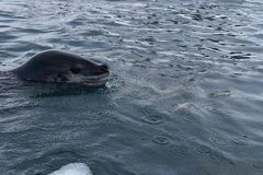 Antarctica, A leopard seal swimming in the iced antarctic waters stock image
