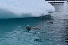 Antarctica, A curious crab eater seal swimming next to an iceberg royalty free stock photography