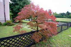 Acer rubrum, the red maple, also known as swamp, water or soft maple, stock photos