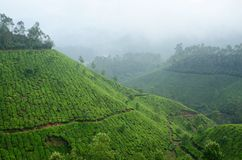 One of the most high altitude tea plantations in Munnar,India Royalty Free Stock Image