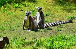 Netherlands. Safari.Couple of lemurs on a clearing. One of the most mysterious animals the lemur by right is considered. Many lemurs are owners of smart tails Royalty Free Stock Images
