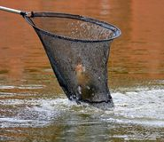One of the most necessary items in the fisherman`s arsenal is a fishing landing-net. The first fish caught, a successful catch. Fishing on the Volga. Low DOF stock image