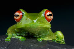 Red eyed tree frog / Boophis luteus Royalty Free Stock Photography