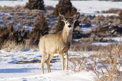 One mule deer Stock Photos