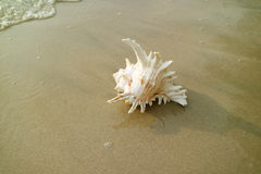 One Murex Ramosus or Branched Murex Seashell on the Beach royalty free stock image