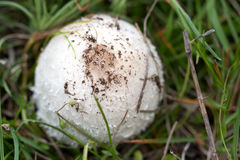 One mushroom on the grass in the forest.  Royalty Free Stock Photography