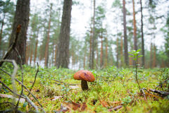 A one mushroom Royalty Free Stock Images