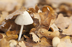 One mushroom in moorland Stock Photography