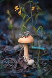 One mushroom raincoat mushroom  in the rain forest stock images