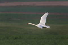 One mute swan Cygnus olor during flight with natural green bac Stock Photography