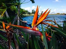 Bird of Paradise,in front of the seaway,  Queensland, Australia. One of my favorite plants, the bird of paradise, Gorgeous big and bold right in front of the Royalty Free Stock Photo