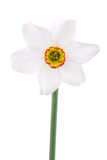 One narcissus flower on white Royalty Free Stock Images