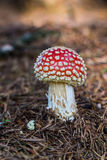 One natural fly-agaric mushroom Stock Photography