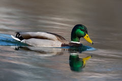 One natural male mallard duck Anas platyrhynchos swimming. Reflected natural male mallard duck Anas platyrhynchos swimming Royalty Free Stock Image