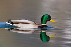 One natural male mallard duck Anas platyrhynchos swimming. Natural male mallard duck Anas platyrhynchos swimming with reflection Royalty Free Stock Photos