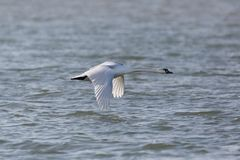 One mute swan bird cygnus olor in flight over blue water surf. One natural mute swan bird cygnus olor in flight over blue water surface royalty free stock photography