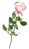 One natural pink rose flower isolated on white Royalty Free Stock Images