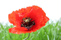 One new poppy with background grass Royalty Free Stock Photo