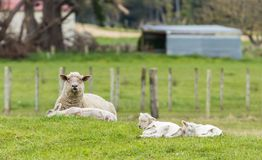 Mother Sheep And Lambs. One New Zealand mother sheep and her three lambs with their coats on Stock Photos