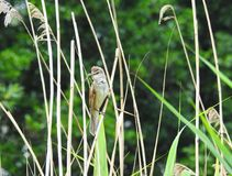 Beautiful little bird on reed plant, Lithuania Royalty Free Stock Photos