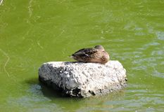 Beautiful duck resting on stone, Lithuania Royalty Free Stock Photo