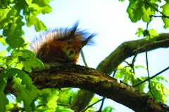 Beautiful brown squirrel on tree branch, Lithuania. One nice brown squirrel on tree branch in summer , can use as background stock images