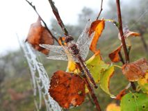 Beautiful dragonfly and spider net with morning dew , Lithuania Royalty Free Stock Image