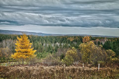 Yellow Larch tree landscape Stock Image
