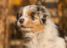One nice puppy. Australian shepherd royalty free stock photography
