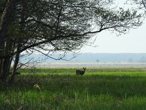 Beautiful roe deer in spring field, Lithuania Royalty Free Stock Images