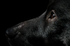 Beautiful head portrait of a black dog looking straight stock image