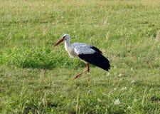 Beautiful stork bird walking on grass, Lithuania Royalty Free Stock Photo