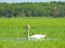 Beautiful white swan in flood field, Lithuania Stock Photo