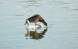 Beautiful duck bird on wooden white bird, Lithuania stock photos